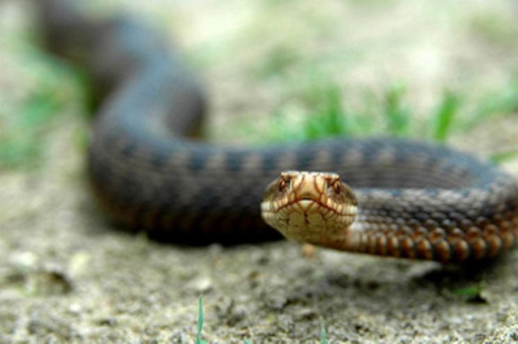 На Закарпатті активізувалися отруйні змії: Серед потерпілих є дитина