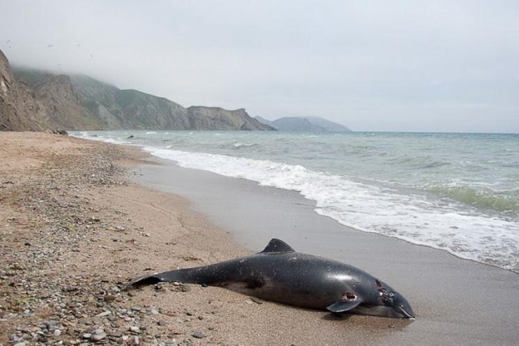 У Криму щодня фіксують випадки загибелі дельфінів