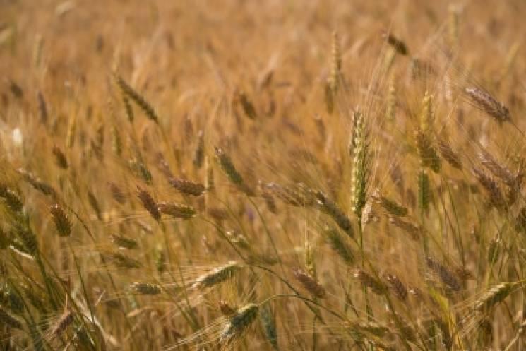 На Миколаївщині зібрали перший мільйон тонн зернових