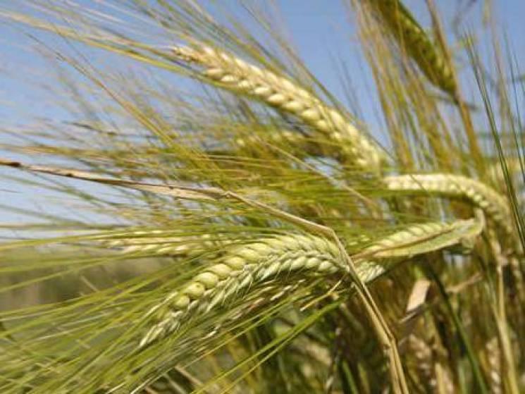 На Сумщині рахують перші намолочені тонни зернових