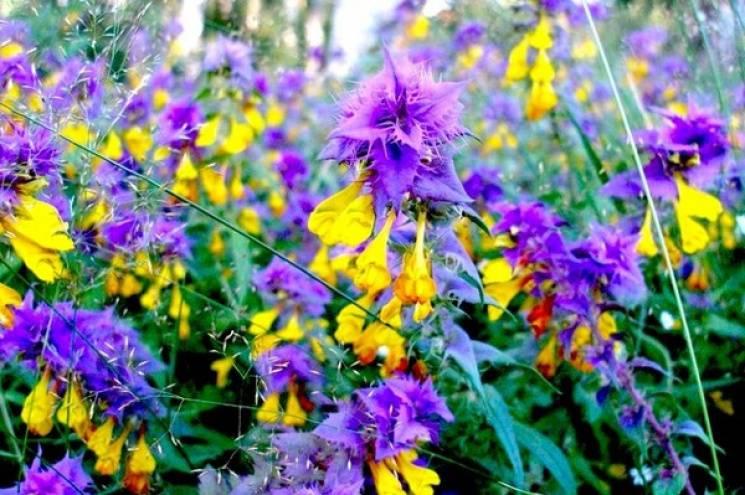 Сьогодні свято: Яку квітку, крім папороті, шукають на Купала