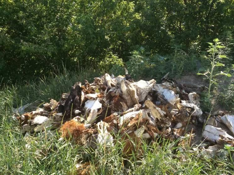 Під Кропивницьким знайшли несанкціоноване захоронення худоби (ФОТО 18+)