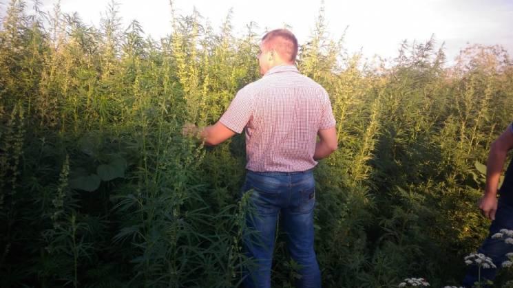 На Кропивниччині невідомі наркофермери виростили конопель на 220 тис. грн (ФОТО)