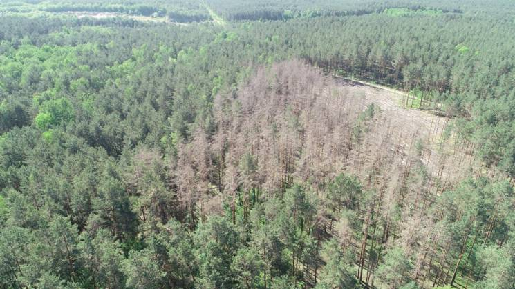 На Хмельниччині вирубають сотні гектарів лісів через всихання (ФОТО)