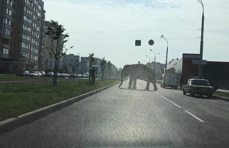 Чому слониха Майя, яка гуляла Вінницею, має бути в Німеччині, а не в мандрівному цирку