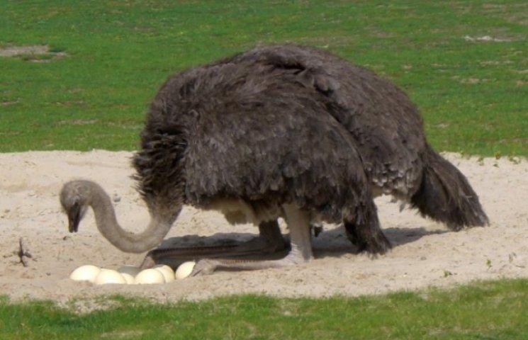 Закарпатські страуси їдять менше, ніж свині, але все підряд (ВІДЕО)