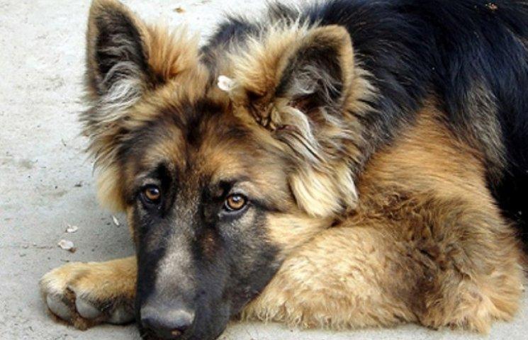 В Ужгороді - епідемія собачої чумки