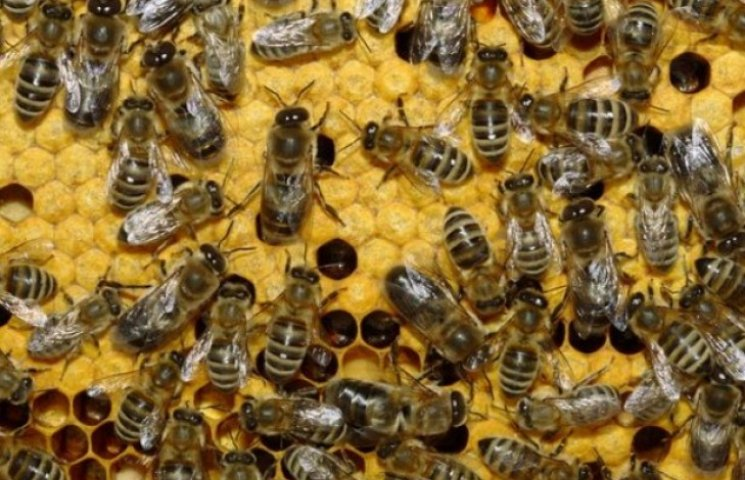 У центрі Ужгорода живуть 30 бджолиних сімей-цілителів (ВІДЕО)