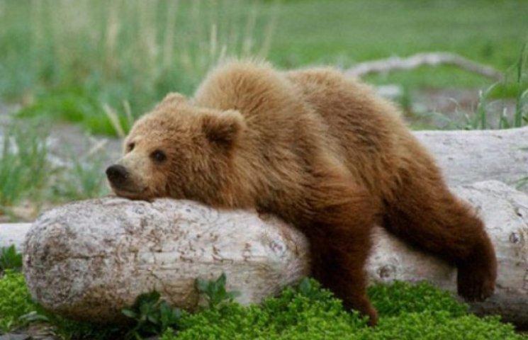 Закарпаття більше не братиме ведмедів на реабілітацію