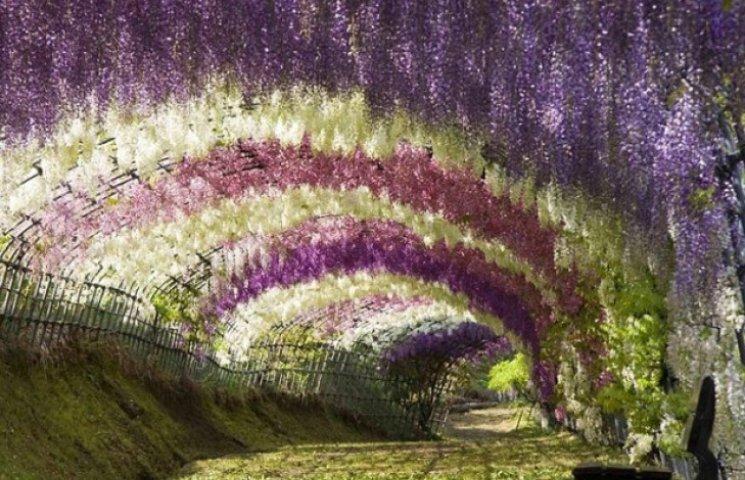У Вінниці  буде квітучий тунель із гліциній