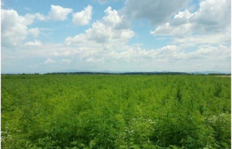 Закарпатські прикордонники знайшли 55 гектарів коноплі