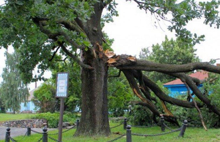 На Сумщині негода зламала величезне дерево-пам