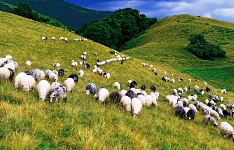 Як живуть вівчарі, що пильнують овець у карпатських горах