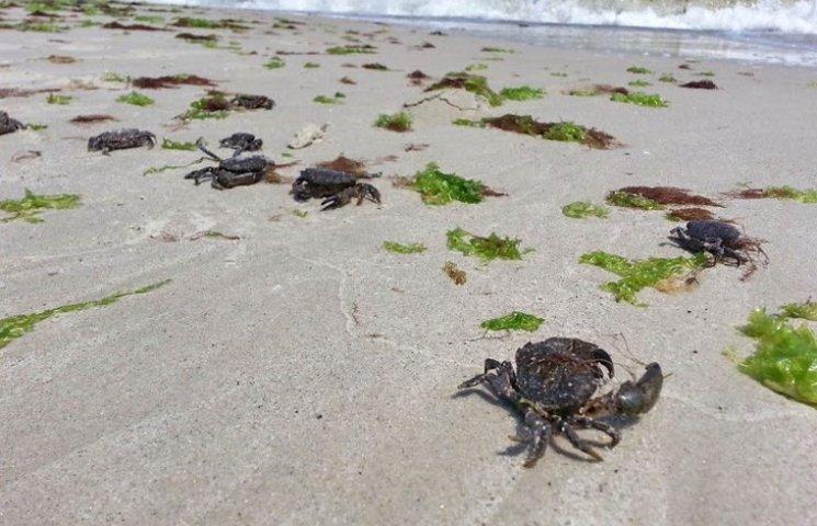 Пляжі Одеси заполонили краби
