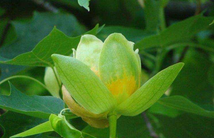 На Черкащині розцвіло тюльпанове дерево