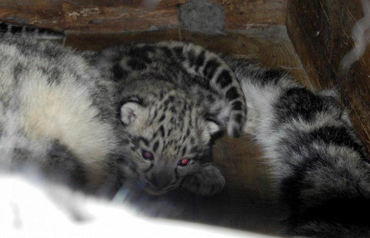 В Николаевском зоопарке родились трое барсов