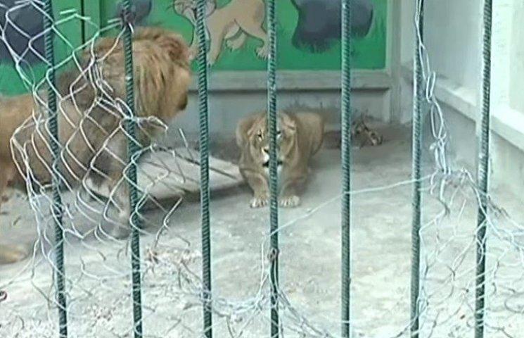 Хмельницький зоокуток може поповнитись левами
