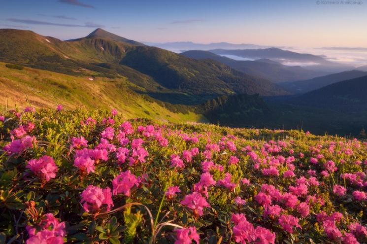 Як фантастично Карпати вкриває цвітом Червоної рути (фото)