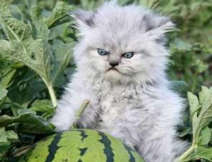 Як виглядають дуже мімішні, але дуже злі кошенята
