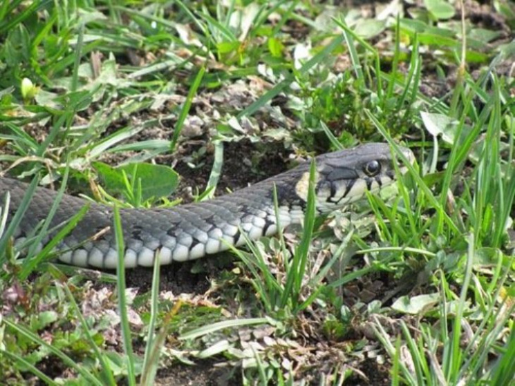 Обережно, плазуни! Чи варто закарпатцям боятися змій?