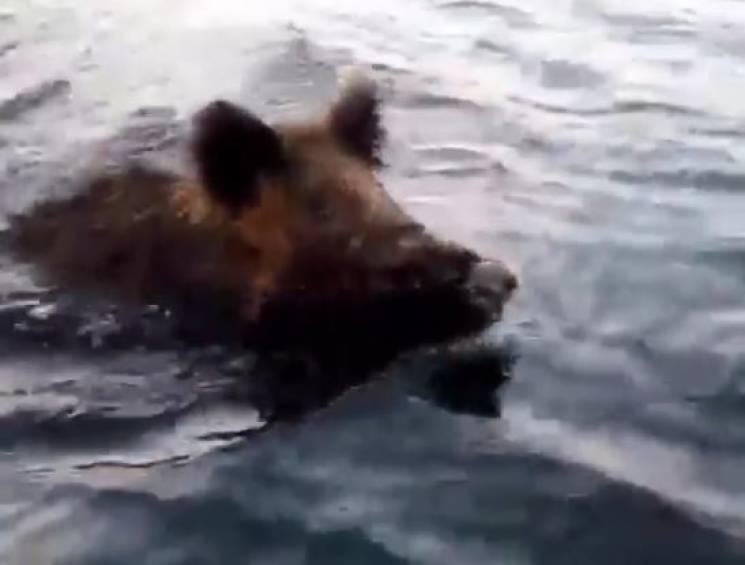 Патрульні зняли кабана, що перепливав Дніпро (ВІДЕО)