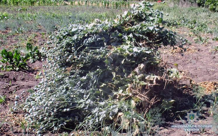 На Запоріжжі наркоплантатор виростив 300 кущів снодійного маку (ФОТО)