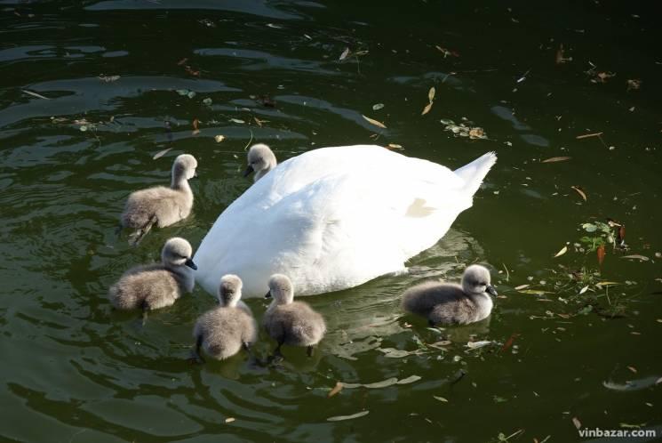 У Вінниці розрослася лебедина сім'я (ФОТО)