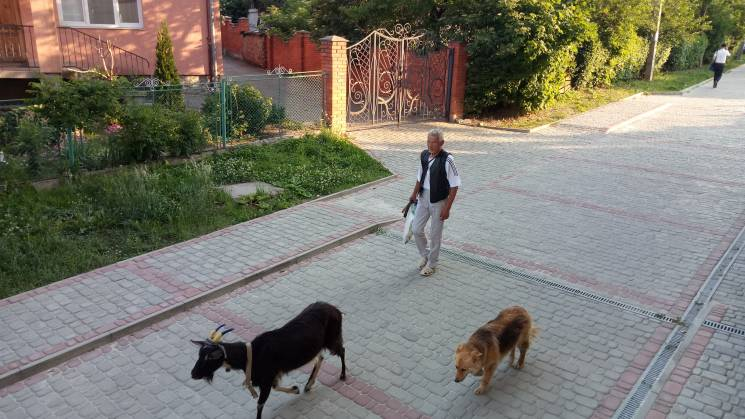 На Львовщине обнаружили козу-патриотку (ФОТО)