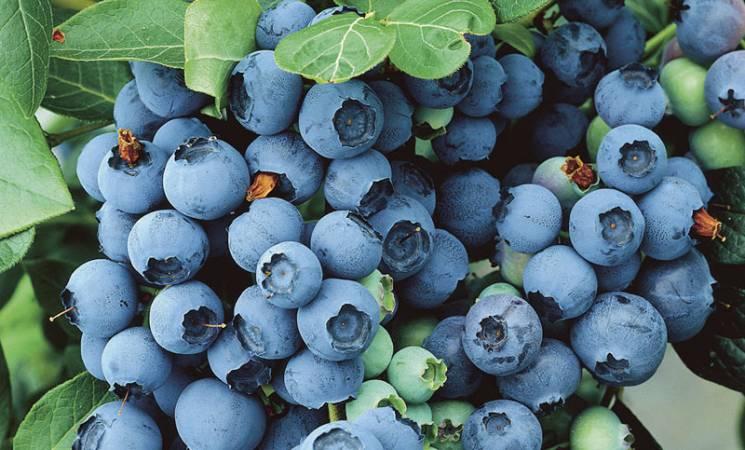 На Виноградівщині щодня вручну збирають близько 700 кг лохини (ВІДЕО)