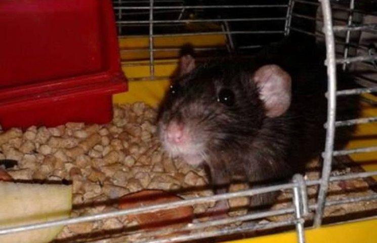 У Миколаєві господарі викинули домашнього пацюка на смітник