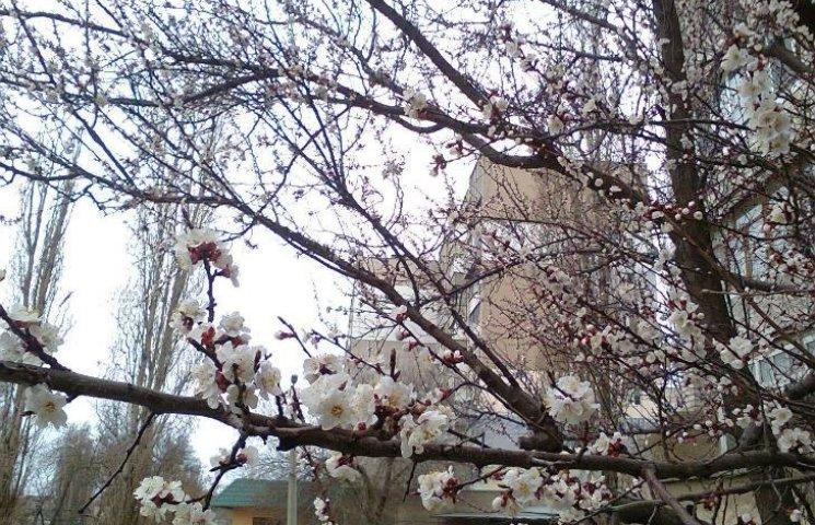 У Миколаєві розцвіла абрикоса-рекордсменка