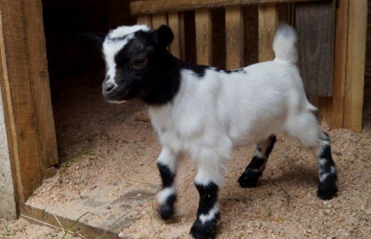 У вінницькому центральному парку народились карликові козенята