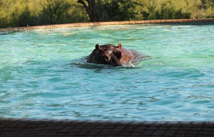 Як бегемот вдерся до готелю, щоб викупатися у басейні