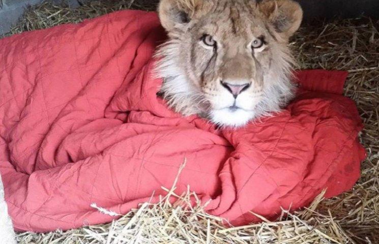 Як врятований лев не може спати без червоної ковдри