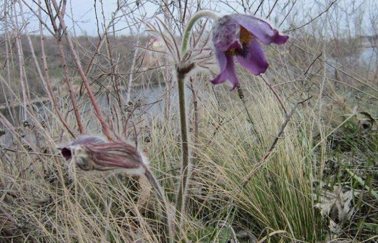 Приголомшлива острівна весна: Хортиця вкрилася сон-травою й дикими тюльпанами
