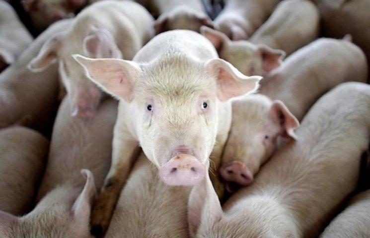 """На Сумщині з острахом чекають нового спалаху """"свинячої чуми"""""""