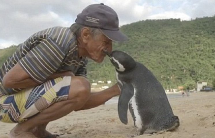 Як пінгвін пропливає щороку по 8 тис. км, щоб побачитися зі своїм рятівником
