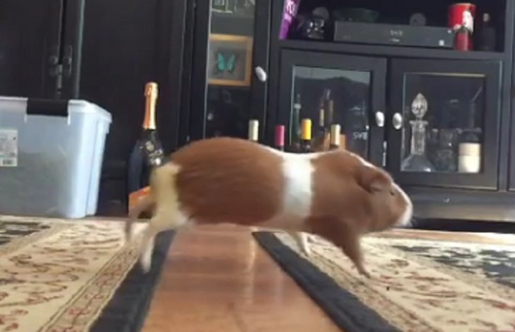 Как морские свинки прыгают по коврам через пол