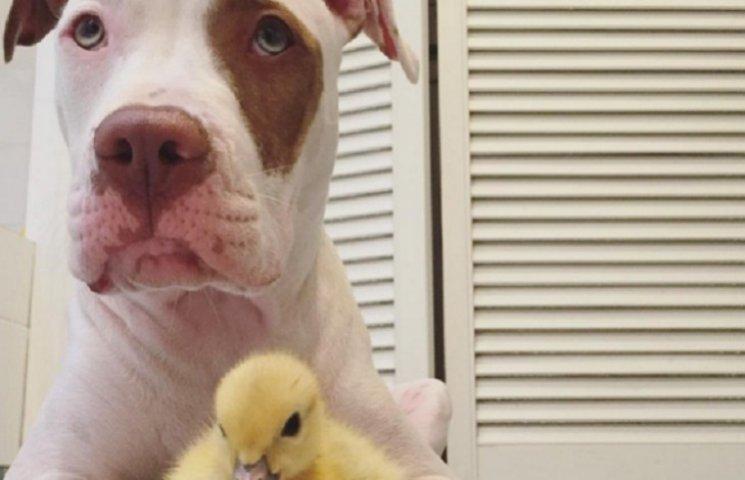 Как два щенка усыновили утят