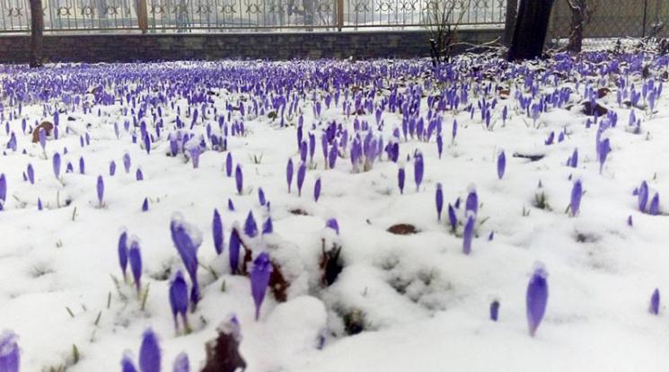 На Тячівщині білий сніг випав на фіолетовий рай