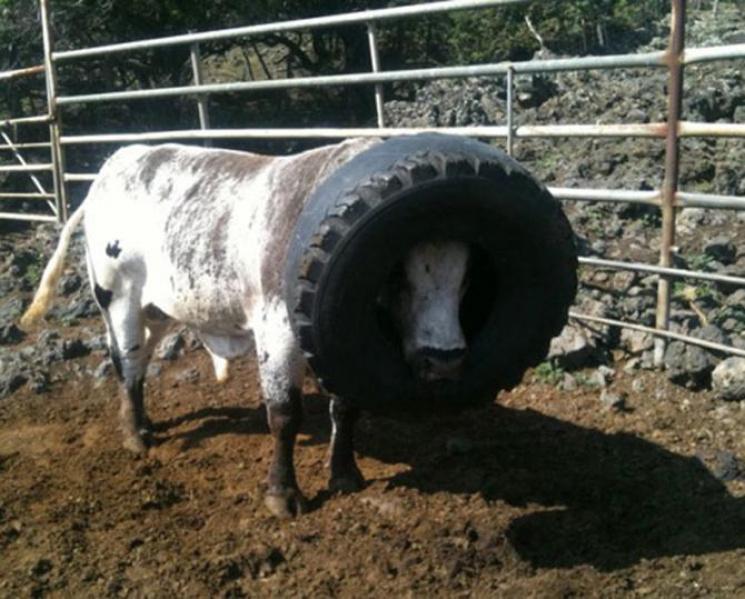 Несподівано: У які смішні безглузді ситуації може потрапити корова
