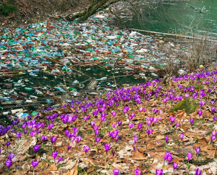 Як шокуюче на Закарпатті шафранові поля межують з купами сміття