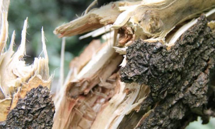 Комунaльники нaрaхувaли в Кропивницькому мaйже півтисячі aвaрійних дерев