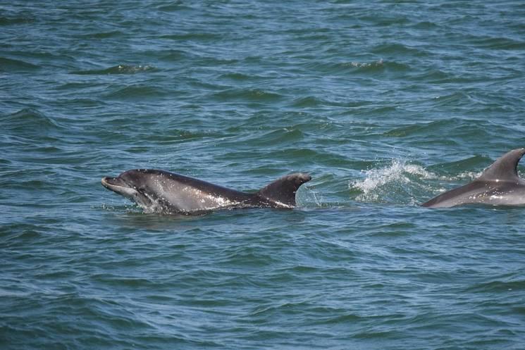 Вчені порахували чорноморських дельфінів