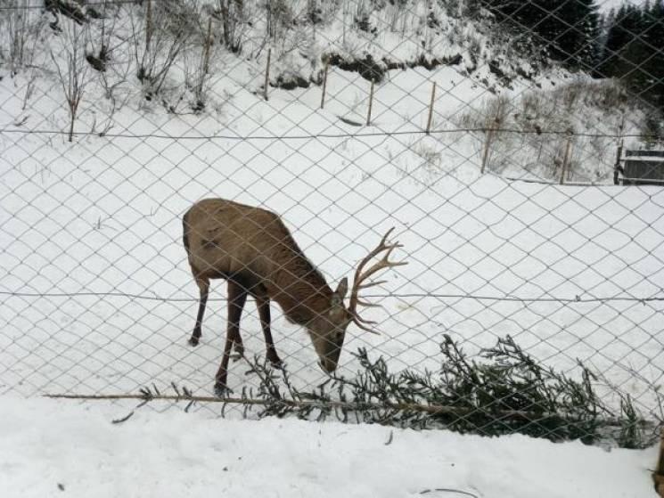 Рахівські лісівники прихистили оленятка: Макс росте (ФОТО)