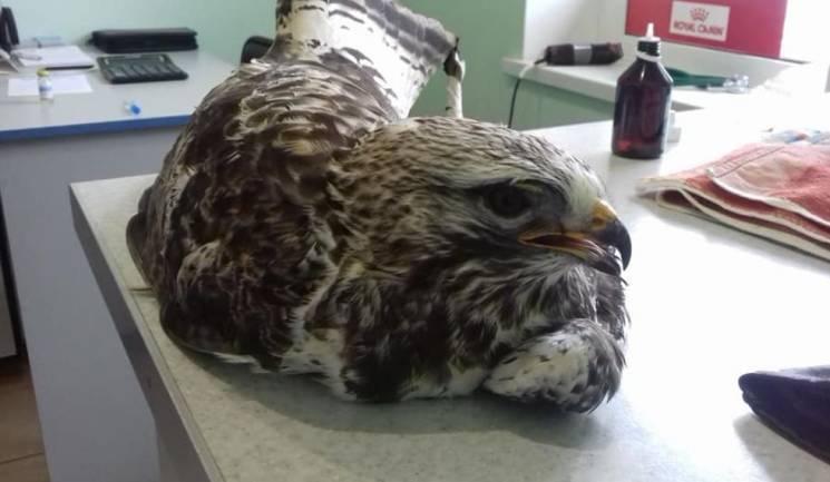 У Дніпрі шукають хазяїна для підстреленого орла