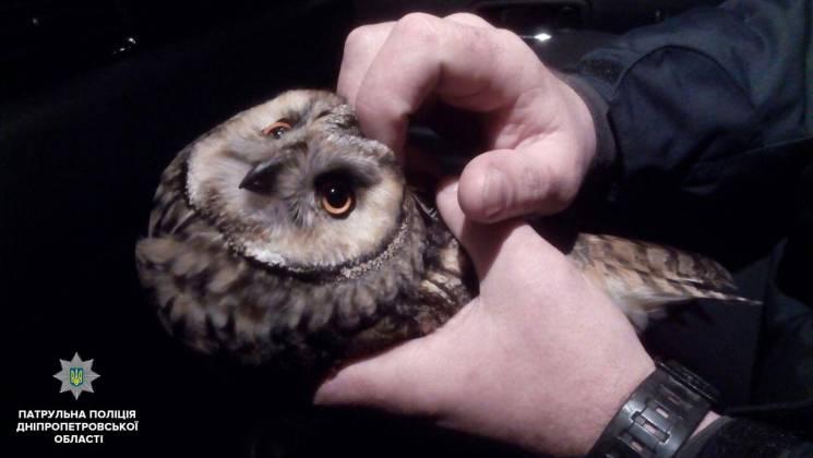 На трасі біля Дніпра патрульні рятували червонокнижну сову (ФОТО)