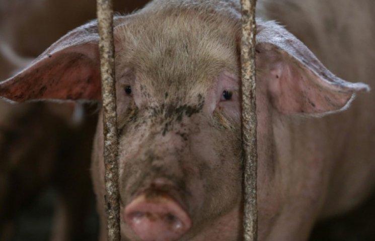 Участковые в Запорожье сутки гонялись за свиньей