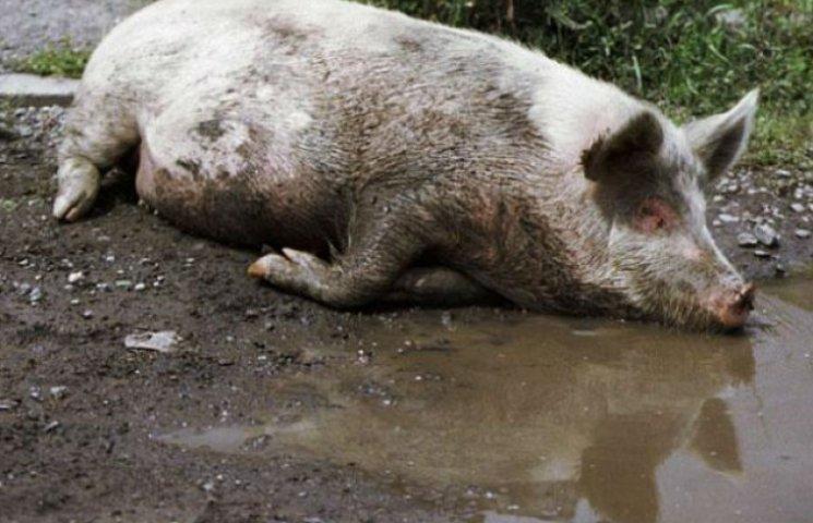 На Київщині зафіксовано випадок африканської чуми свиней