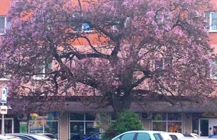 В Ужгороді зацвіло найстаріше в країні Адамове дерево (ФОТОФАКТ)